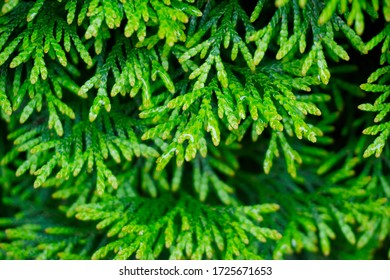 Close up of a green branch of the Mediterranean Cypress