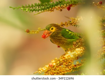 Close up green and brown Brown-headed Barbet Megalaima zeylanica  feeding on fruits of palm tree with berry in its beak. Soft light, blurred colorful background. Sri Lanka.