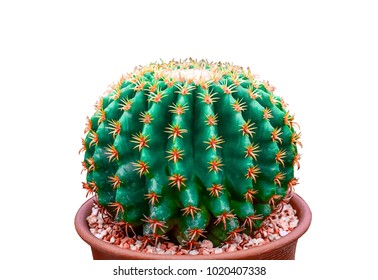 Close up of a green cactus on a white background.