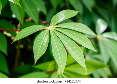 Close up of green cassava leaves in the garden.