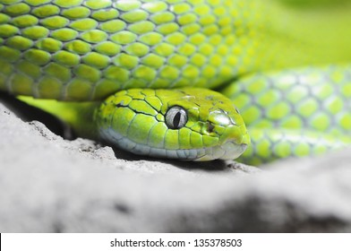Close up of Green Cat-eye snake, Thailand