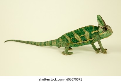 Close up of a green chameleon on white background isolate