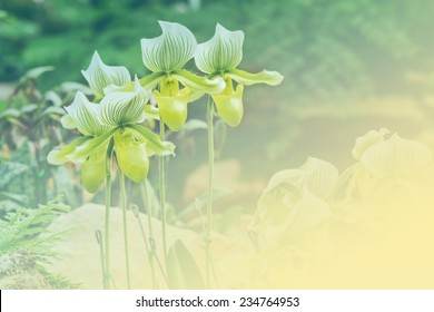 Close up of Green color lady slipper orchid standing in flower garden on soft background style