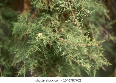 Close up green coniferous tree branches.