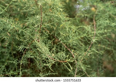 Close up green coniferous tree branches thuja.