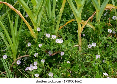 Close up of a green corn field with bindweed weeds
