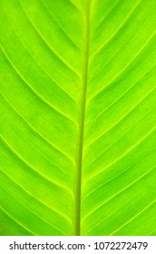 Close up of green Dieffenbachia leaf as natural background