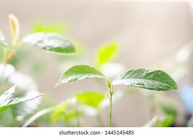 Close up green Dipterocarpus alatus in nature