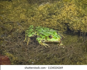 close up of a green edible frog or Common Water Frog on water in summer