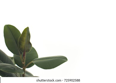 close up of green ficus leaves, isolated on white with copy space, minimalistic style