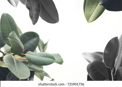 close up of green ficus plant, isolated on white with copy space, minimalistic style