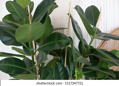 close up of green ficus plant, minimalistic style. Ficus elastica plant(rubber tree) with white background. Rubber fig's big smooth green leaf (ficus benjamina, ficus microcarpa). indoor flowers