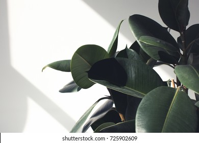 close up of green ficus plant with sunlight, minimalistic style