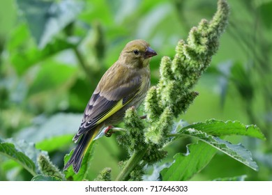 close up of a green finch perching on a millet plant