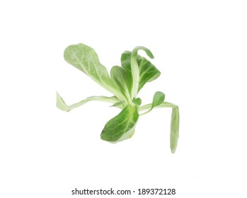 Close up of green fresh basil. Isolated on a white background.