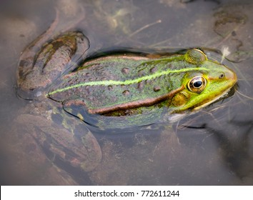 Close up of a green frog (Rana esculenta complex) in a pond.