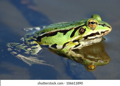 Close up of Green frog.Edible green frog (Rana esculenta), is a medium-thick-set tailless animals, up to 12 cm in length, but usually smaller. Edible green frog in the shallow water of lake.