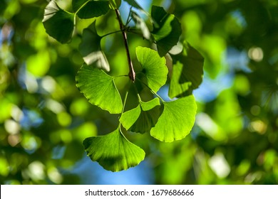 Close up of green ginkgo leaves in summer.