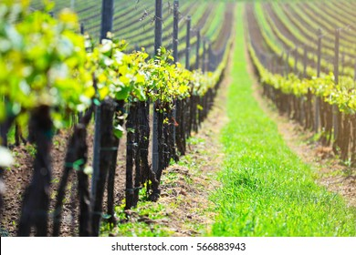 Close up of green grape sprouts. Green leaves of grape on soft vineyard backdrop. Colorful spring background.