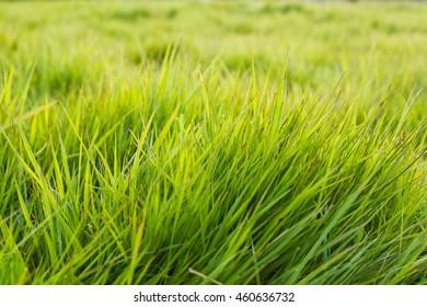 Close up of green grass of Ireland