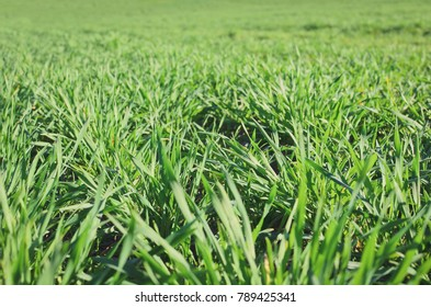 Close up of green grass wheat field in spring.