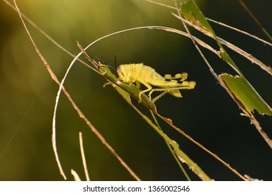 A close up of a green grasshopper eating a leaf, surrounded by decimated stalks.