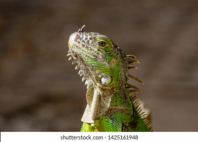Close up of a Green iguana, also known as an American iguanas in its natural habitat, taken in forest in Mexico.
