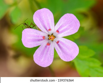 Close up of a green insect with red eyes peeping out from a pink flower (Geranium robertianum).