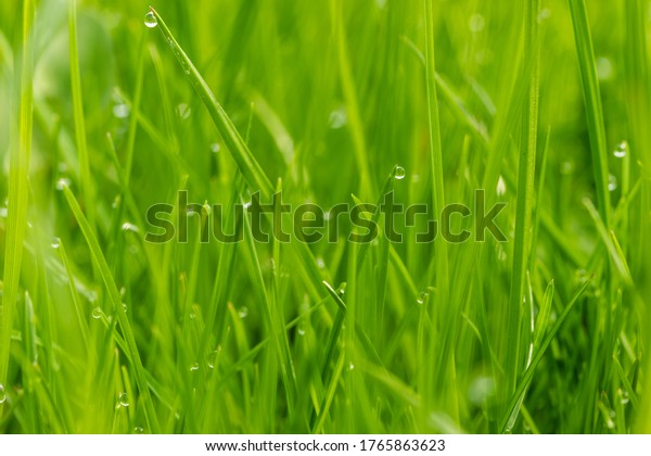 Close up green lawn with drops of dew