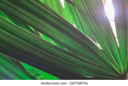 Close up of green leaf bamboo palm or lady palm (Rhapis exclesa, PLAMAE) with sun flare. Green nature leaves textured abstract background.
