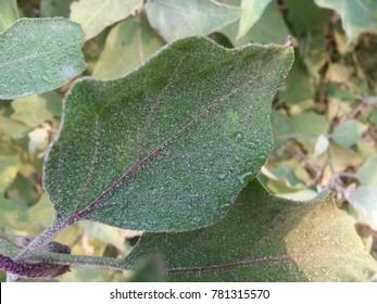 close up of green leaf of brinjal or Eggplant or aubergine plant