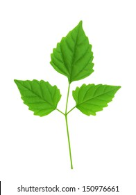 Close up green leaf isolated on white background
