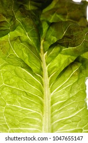 Close up of green leaf lettuce, shallow depth of field.  Macro shot of lettuce. Detail of lettuce shot lengthwise.