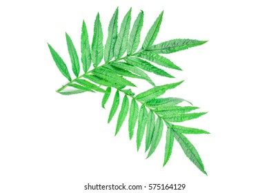 Close up green leaf marigold on white background