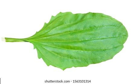 A close up of the green leaf of medicinal herb plantain. Isolated on white.