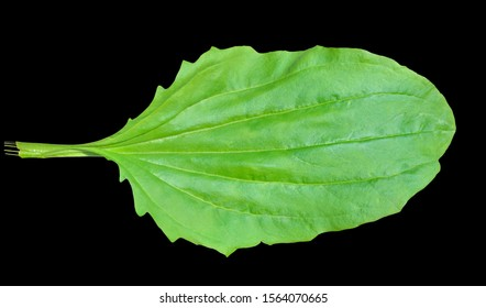 A close up of the green leaf of medicinal herb plantain. Isolated on black.