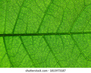 close up green leaf of purple wreath ( Petrea volubilis L. )