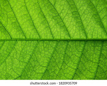 close up green leaf of purple wreath ( Petrea volubilis L. )