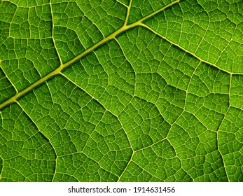 close up green leaf texture of Hollyhock ( Alcea rosea L. )