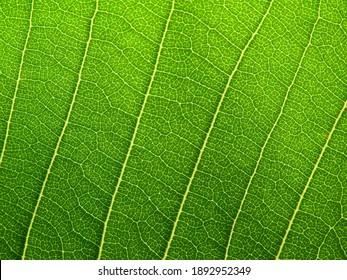 close up green leaf texture ( plumeria tree )