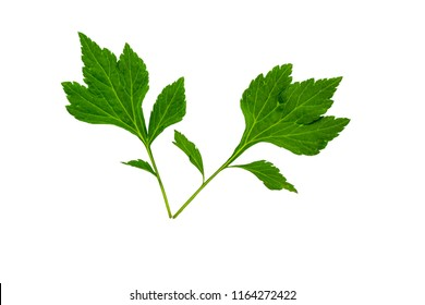 Close up green leaf of White mugwort plant (Artemisia lactiflora) isolated on white background.Saved with clipping path.