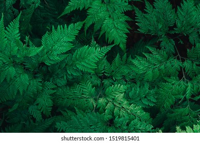 Close up green leave fern. Nature green plant pattern background and texture.