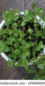 close up green leaves - harvest of spearmint mint leaves