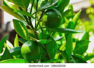 Close up of green lemons hanging from a tree in a green lemon grove