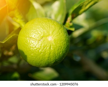 Close up green lime on trunk sunray effect. Lemon is rich in flavonoids. Helps to reduce inflammation. And to control blood pressure. Help inhibit the spread of germs. Cancer prevention at the beginni