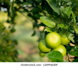 Close up green lime on trunk and blurred background with copy space. Lemon is rich in flavonoids. Helps to reduce inflammation. And to control blood pressure. Help inhibit the spread of germs.