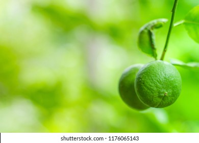 Close up of green limes fruit hanging on branch with blurred background for copy space.