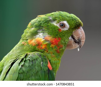 Close Up Green Mitred Conure