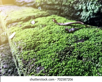 Close up Green Mos on stone , Green mos on wall with morning light. Beauty in natural.