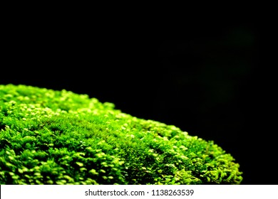 Close up of green moss isolated on black background. Sunshine day. Ecology concept. Copy space. Can be use for advertising display product or ecology, greenery.